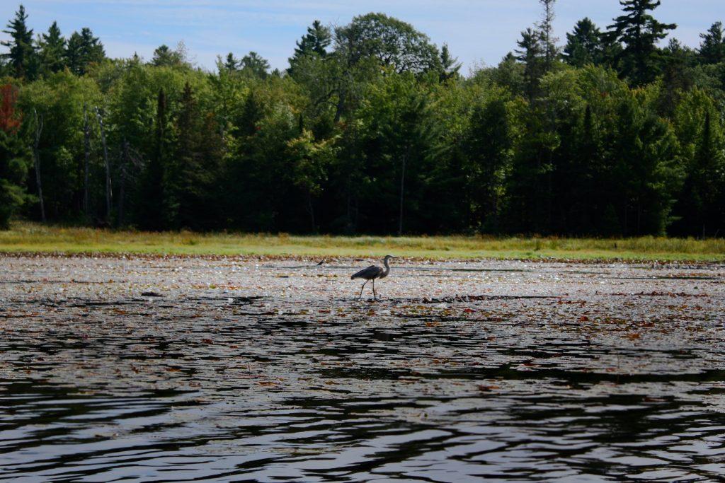 Heron standing in a marsh in Killarney Provincial Park