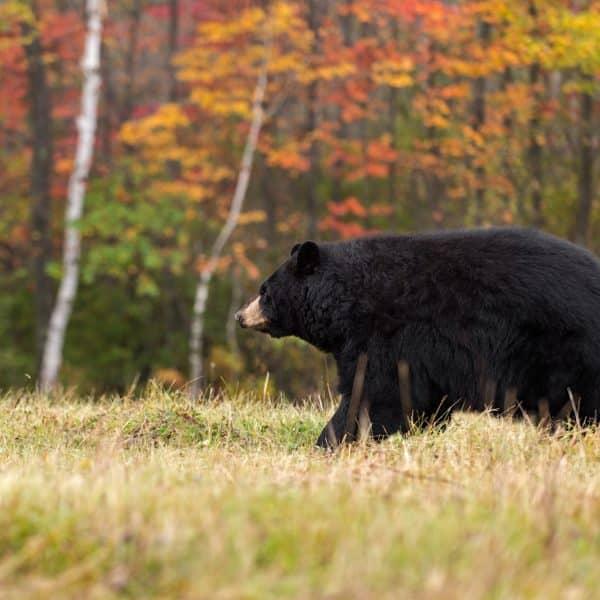 Bear proofing campsite in Algonquin Provincial Park